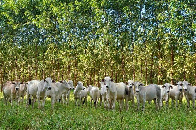 Sistema silvipastoril pasto gado e florestas