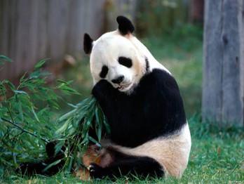 Pandas Gigantes não correm mais risco de extinção