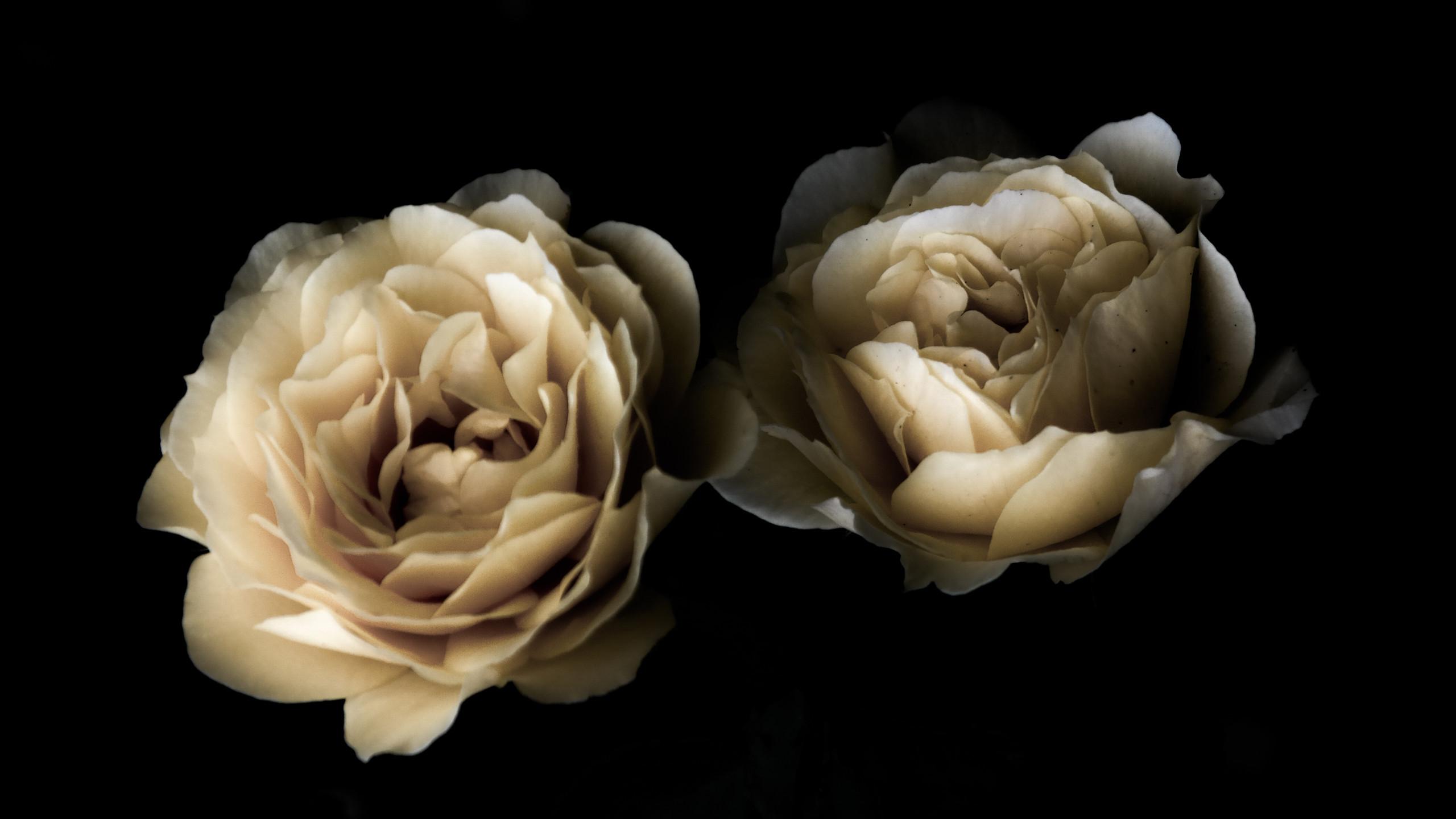 Svevende roser i natten