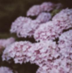 Lilla Hydrangea