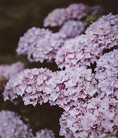lila Hydrangea