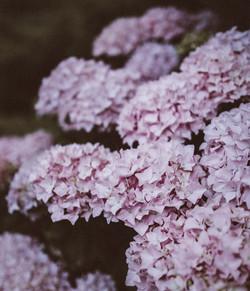 Hortensia lilas