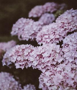 Hydrangea de la lila