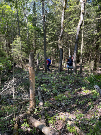 Clearing the trail corridor. Loppers ahead, sawyer to follow