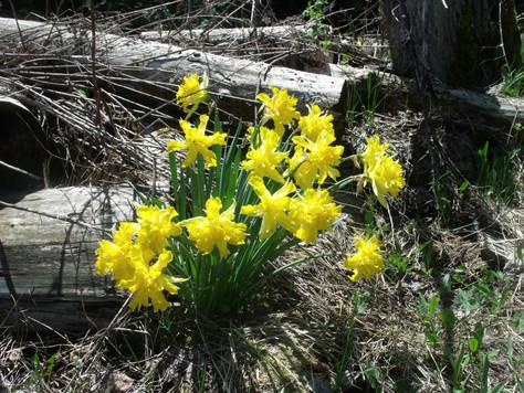 Loop Hike at Boundary Bluffs; Beaver Baffle, Ancient Cedars, Daffodils, Panoramic View