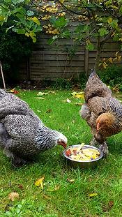 Deux poules Brahma de Tanguy