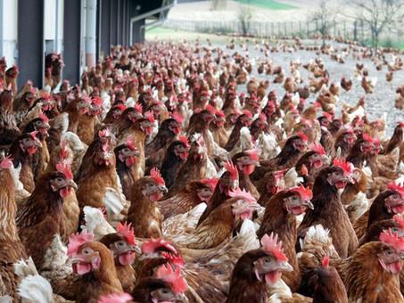 Les poules de réforme