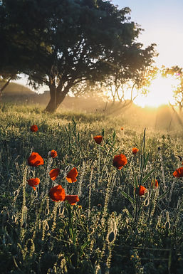 Poppies in the sunrise