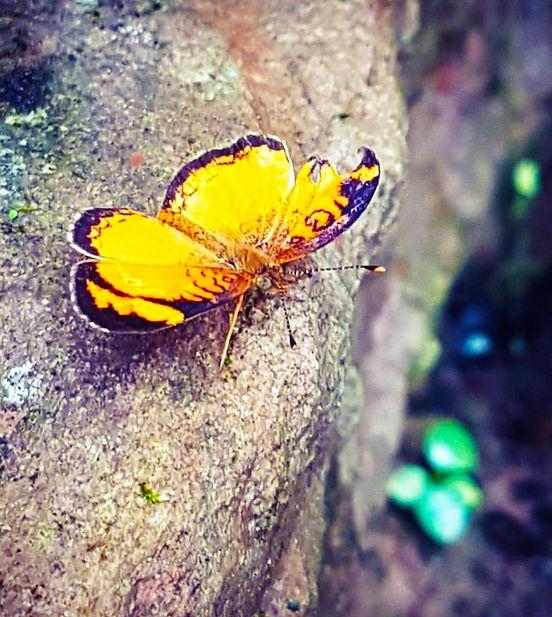 Yellow butterfly, Salta
