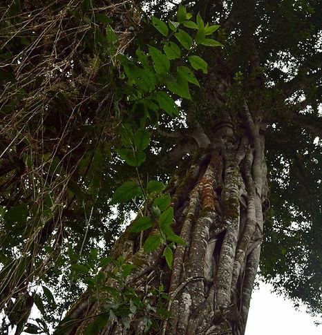 árbol, bosque, Salta