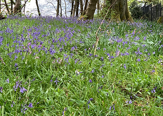 Bluebells IE.png