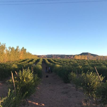 Rincón, tierra de olivares y almendras