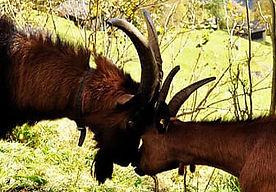 goats-horns-butt-animals-fauna-thumbnail