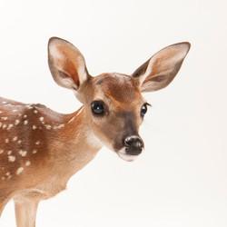 white-tailed-deer_thumb