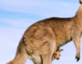 A-brown-kangaroo-with-her-baby_1366x768.jpg