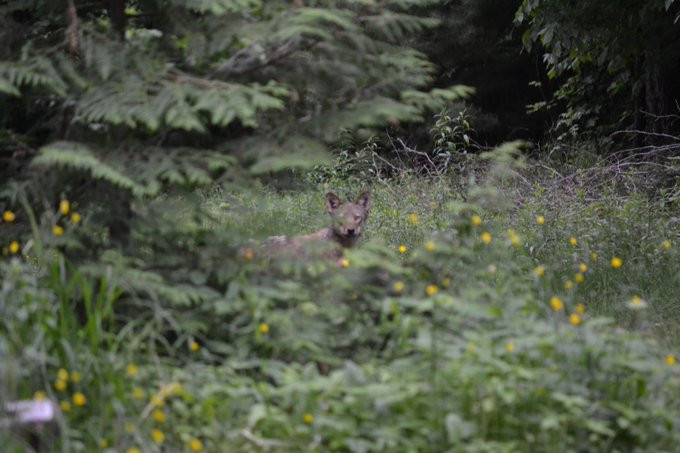 Algonquin Wolf at the camp