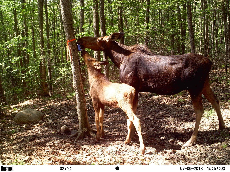 Moose cow with calf behind camp.JPG