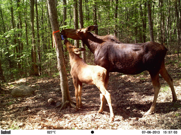 Moose cow with calf behind camp
