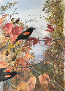 Red Wing Blackbird 2017