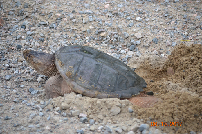 Turtle laying eggs on our forest access road