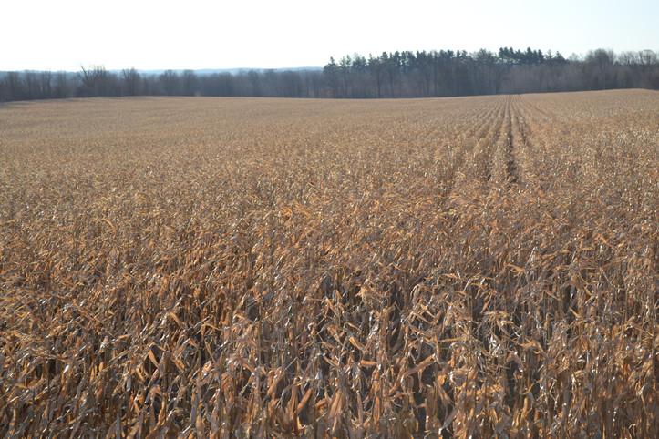 Corn ready for harvest - Carrick west farm