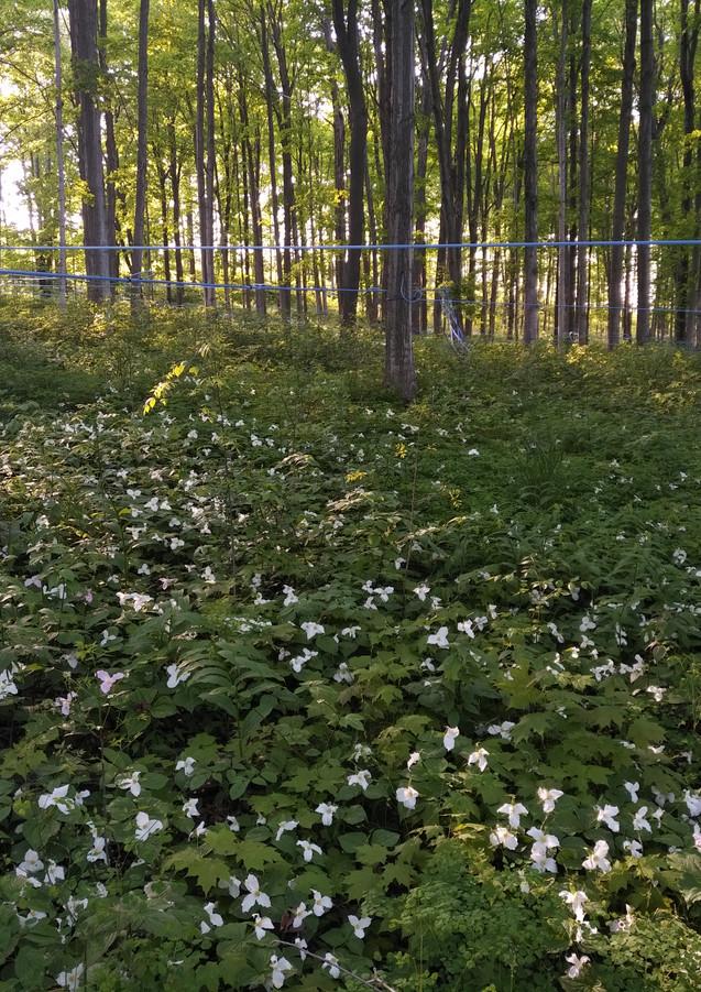 Springtime in the maple bush