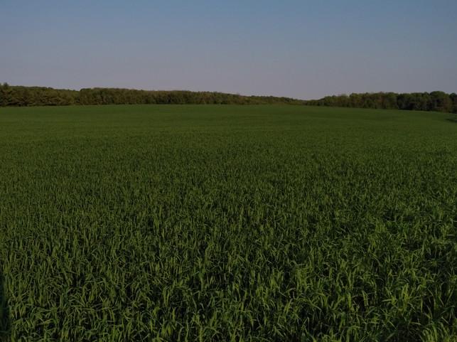 Soft Red Winter Wheat - home farm.jpg