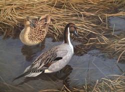 Drake Pintail courting hen 1994