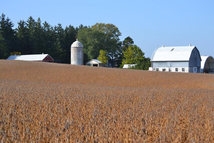 Soybeans - home farm