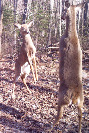 Duelling deer 25m from the camp