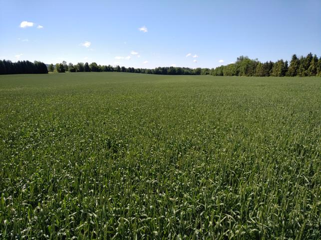 Fall oats - Carrick west farm.jpg