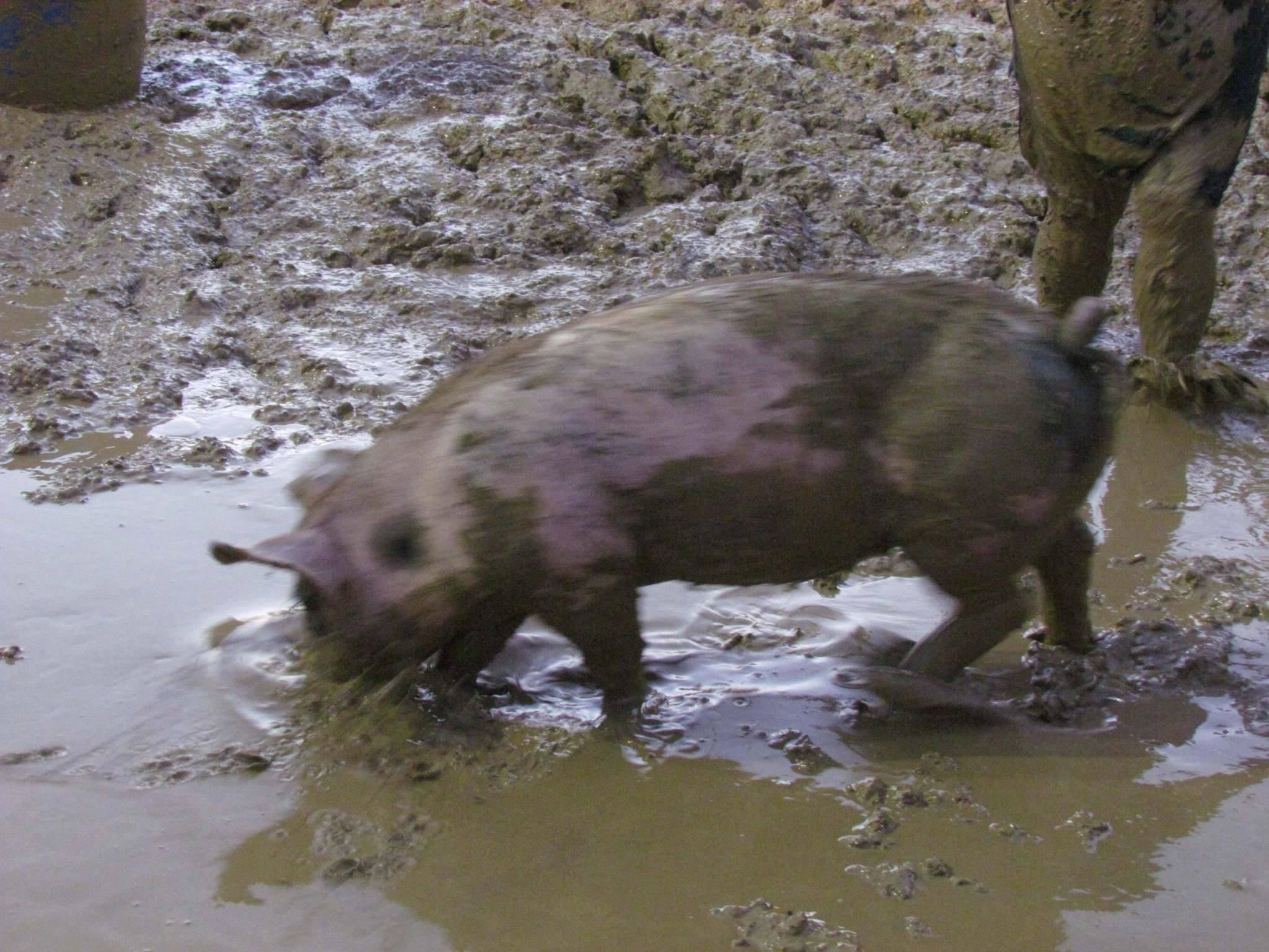 Pig wrestling!