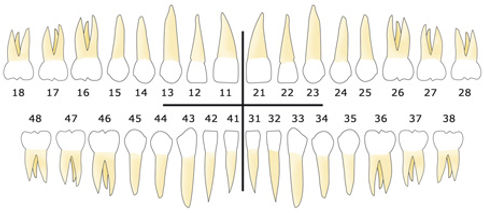 dents-adulte-numerotation_001.jpg