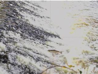 Salmon make use of Thrybergh Fish Pass