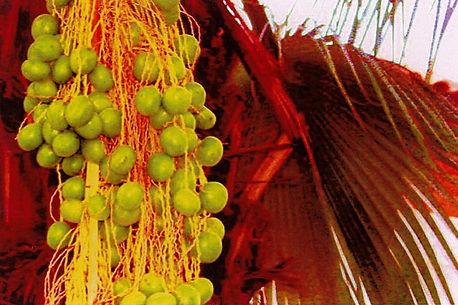 palmfruit_edited_edited.jpg