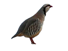 Chukar_edited.png