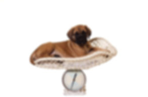 dog%20on%20scales_preview.jpeg.jpg