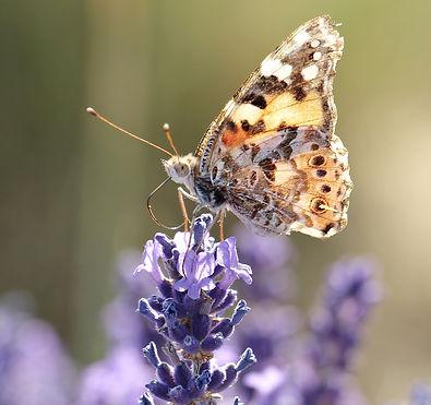 lavender-2426381_1920.jpg