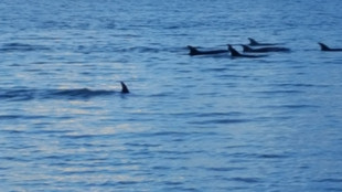 A pod of dolphins cruising past