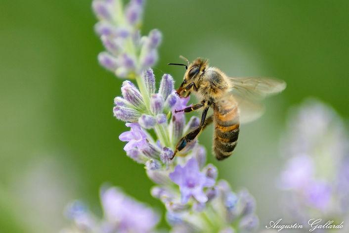 abeille-augustin.jpg
