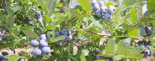 bleuetière st-thomas