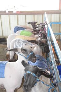 Goat Sheep and Swine Show 2018 8145.jpeg