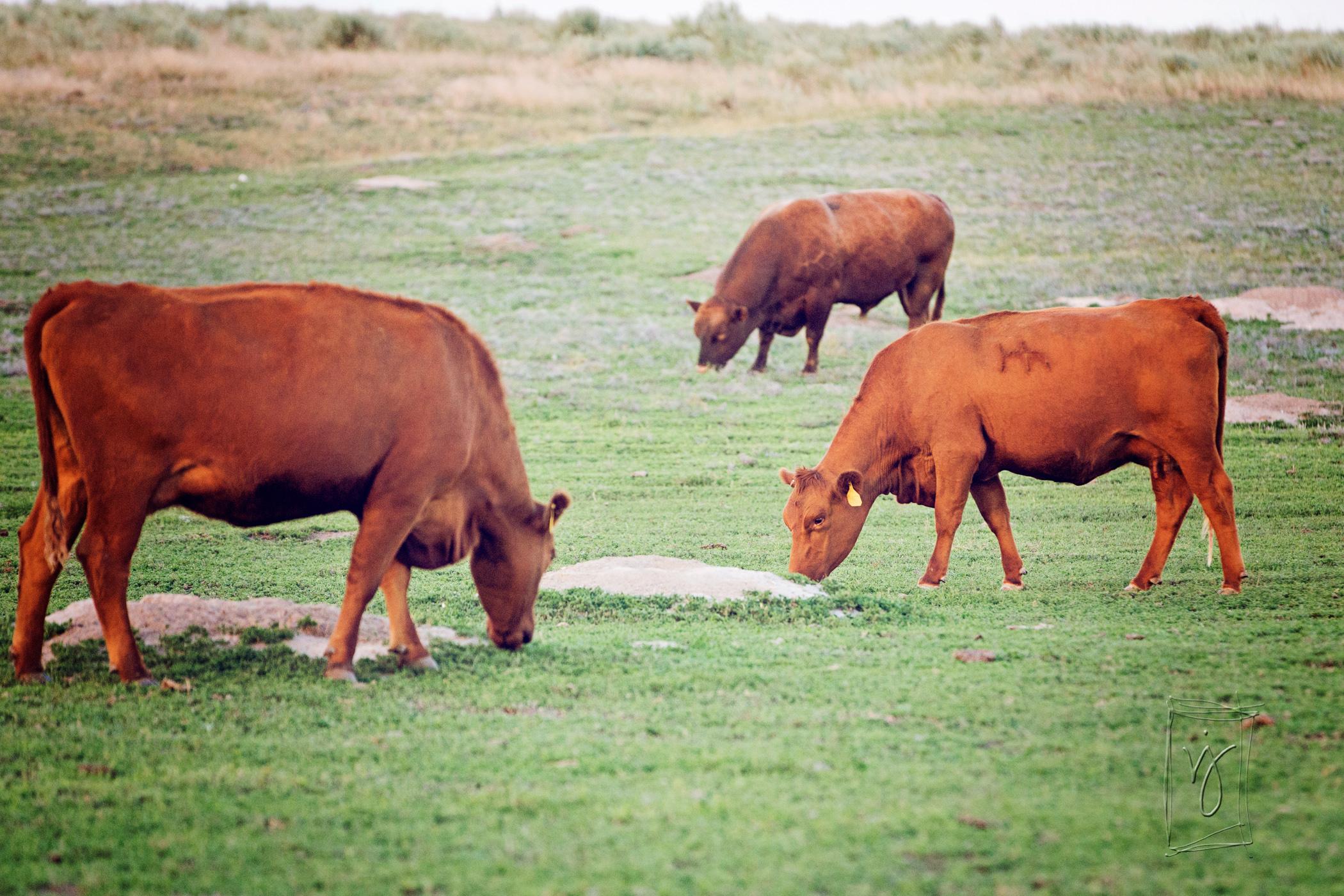 Tjaden Ranch Beef.jpg