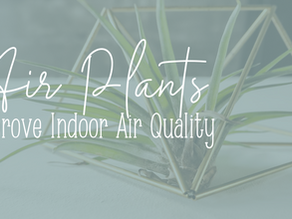 Air Plants: A Cheerful + Easy Way to Purify Indoor Air