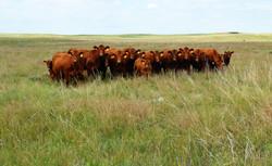 Tjaden Ranch Cattle