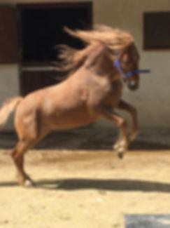 Bodmin Moorland Pony Rebel