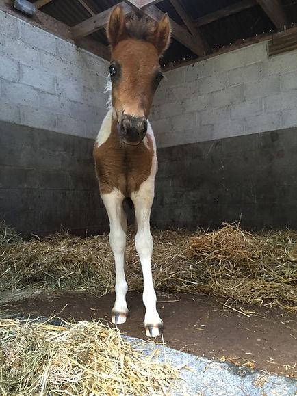 Bodmin Moorland Pony Monty