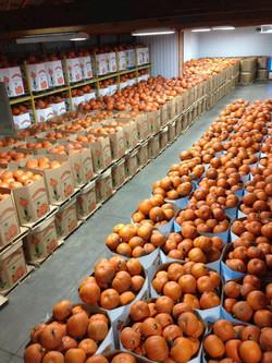 Oh so many pumpkins