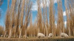 foto ovejas rodeo