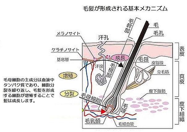 AGA(男性型脱毛症)の基本メカニズム